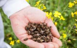 Лечение пчелиным подмором аденомы простаты: принцип действия и противопоказания
