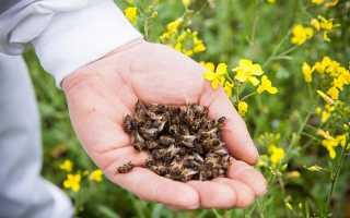 Пчелиный подмор при простатите и аденоме простаты, отзывы